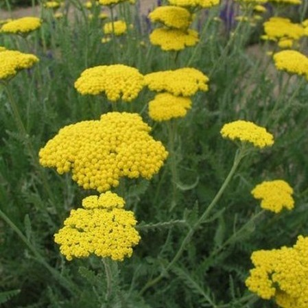 Achillea filipendulina 'Cloth of Gold' - duizendblad