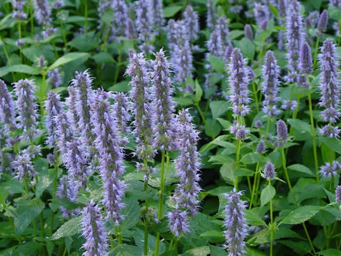 agastache foeniculum 39 blue fortune 39 mar chal. Black Bedroom Furniture Sets. Home Design Ideas