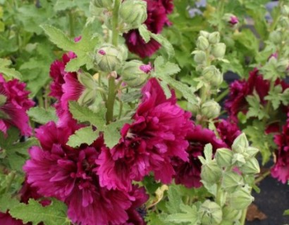 Alcea rosea 'Chaters Double Purple' (grote pot) - stokroos