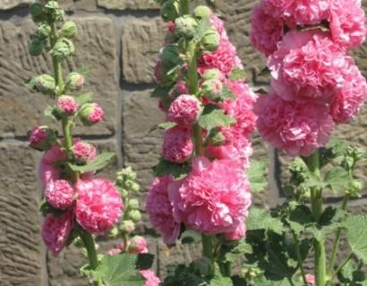 Alcea rosea 'Double Pink' pot 3 liter