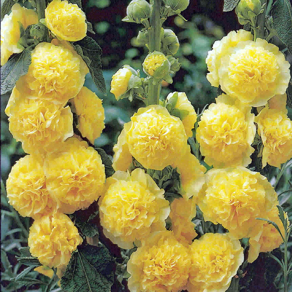 Alcea rosea 'Charters Double Yellow' (grote pot) - stokroos