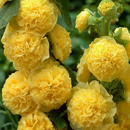 Alcea rosea 'Charters Double Yellow' (grote pot) - stokroos