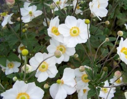 Anemone hybrida 'Honorine Jobert' pot 2 liter