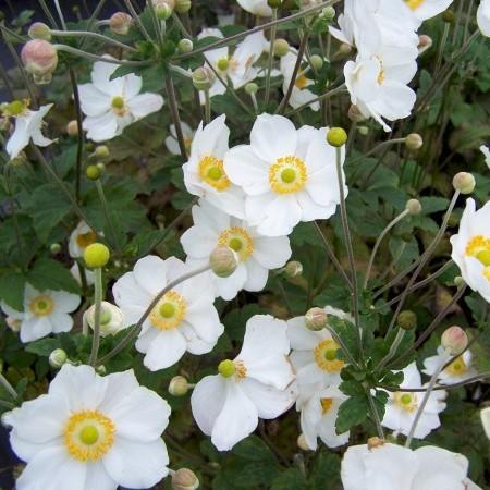 Anemone hybrida 'Honorine Jobert' pot 3 liter