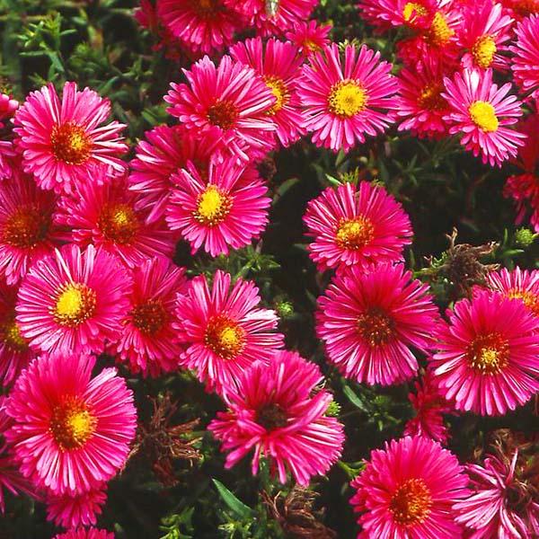 Aster dumosus 'Anneke' planten