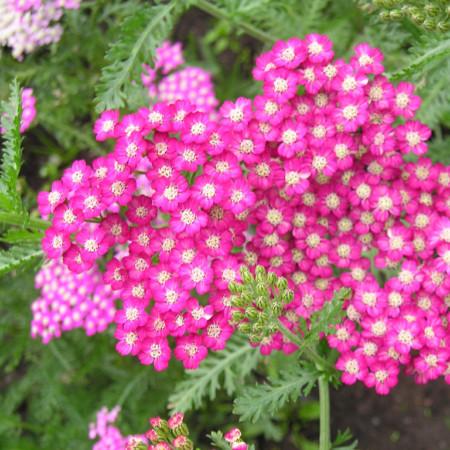 Achillea millefolium 'Cerise Queen' - duizendblad