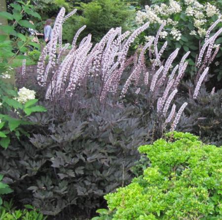 Actaea simplex 'Brunette'  (grote pot) - zilverkaars / Christoffelkruid