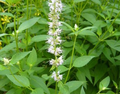 Agastache rugosa 'Alabaster' - anijsplant, dropplant