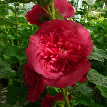 Alcea rosea 'Charters Double Scarlet' (grote pot) - stokroos