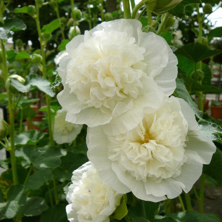 Alcea rosea 'Chaters Double White' (grote pot) - stokroos