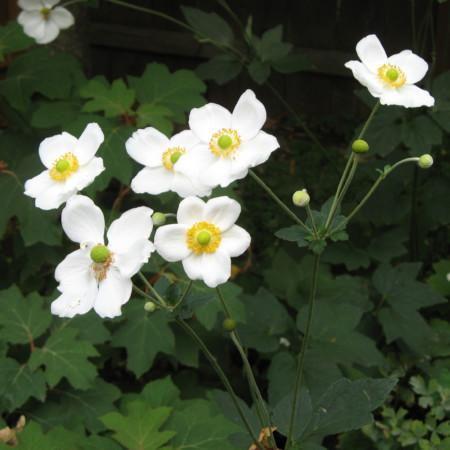 Anemone hybrida 'Honorine Jobert' (P9) - herfstanemoon