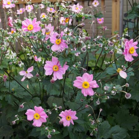 Anemone hybrida 'Serenade' - herfstanemoon