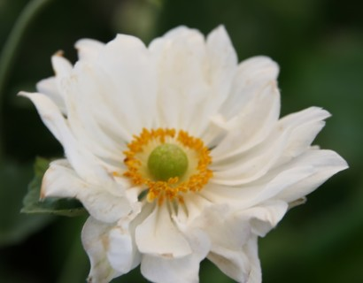 Anemone hybride 'Whirlwind' - herfstanemoon