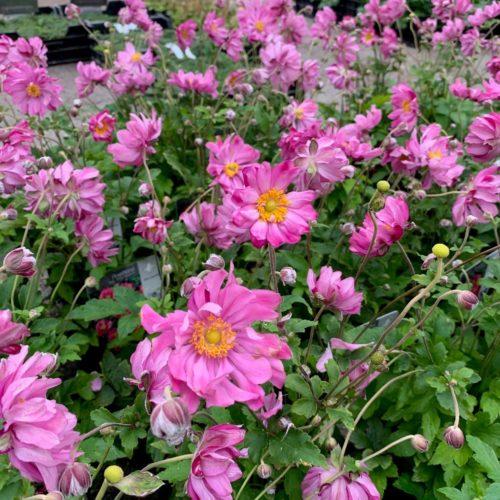 Anemone hupehensis 'Prinz Heinrich' (grote pot) - herfstanemoon