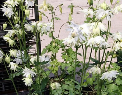 Aquilegia 'Snow Queen'