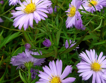 Aster dumosus 'Lady in Blue' - herfstaster