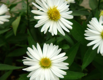 Aster novi-belgii 'White Ladies' - herfstaster