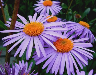 Aster tongolensis 'Waltburgstern' - aster