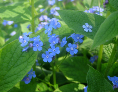 Brunnera macrophylla pot 2 liter - kaukasische vergeet-mij-nietje