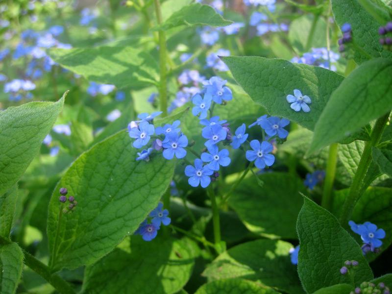 Brunnera macrophylla - kaukasische vergeet-mij-nietje