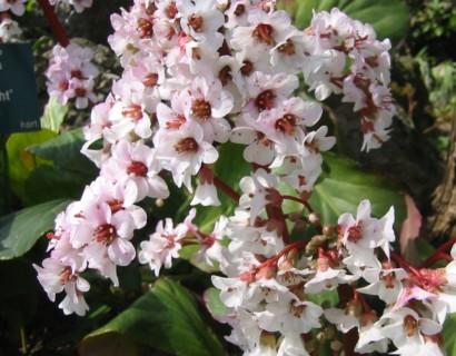 Bergenia 'Silberlicht'  (grote pot) - schoenlappersplant