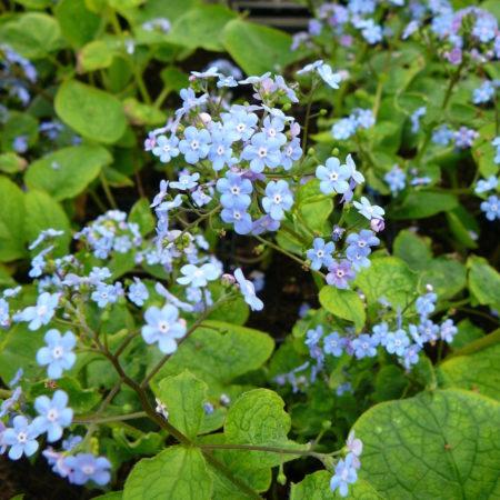 Brunnera macrophylla (grote pot) - kaukasische vergeet-mij-nietje