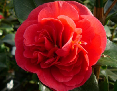 Camellia japonica 'Lady Campbell' - Camellia