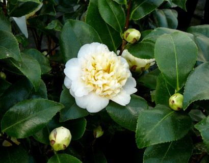 Camellia jap. 'Brushfield's Yellow' - Camellia