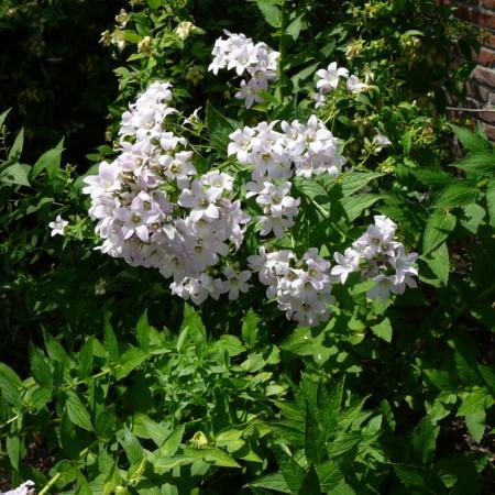 Campanula lactiflora 'Loddon Anna' - klokjesbloem