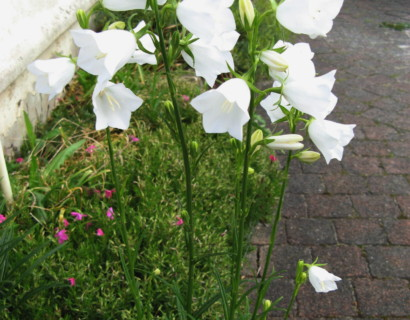 Campanula persicifolia 'Alba' (grote pot) - Klokjesbloem