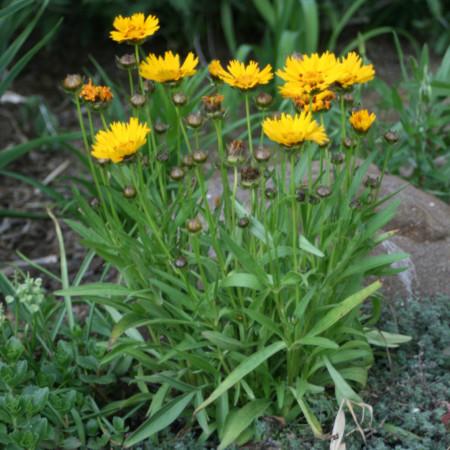 Coreopsis grandiflora 'Sunray' - meisjesogen