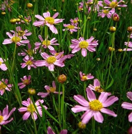 Coreopsis rosea 'American Dream' - meisjesogen