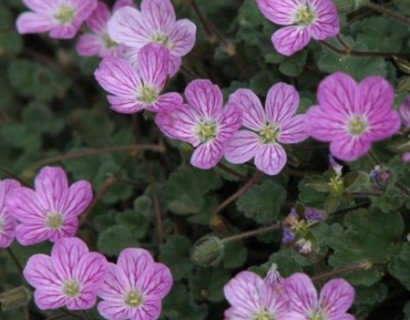 Erodium variabile 'Bishop's Form' pot 3 liter