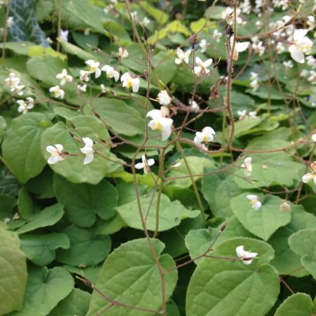 Epimedium pubigerum - elfenbloem