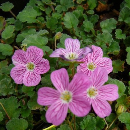 Erodium variabile 'Bishop's Form' - reigersbek