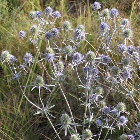 Eryngium planum - kruisdistel / blauwe distel
