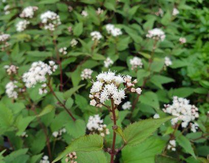 Eupatorium rugosum 'Chocolate' - leverkruid / koninginnenkruid