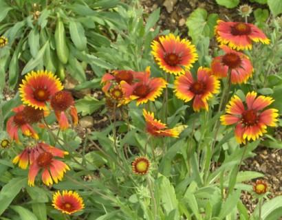 Gaillardia aristata 'Arizona Sun' pot 3 liter - kokardebloem
