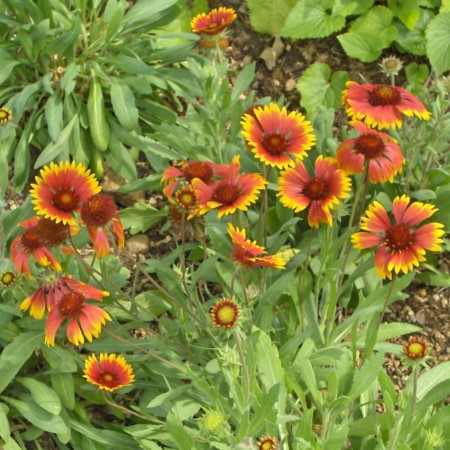 Gaillardia aristata 'Arizona Sun' pot 3 liter