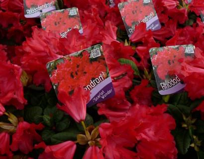 Rhododendron 'Scarlet Wonder' - dwergrhododendron