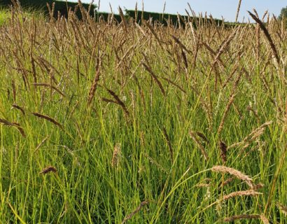 Sesleria autumnalis - Blauwgras