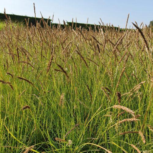 Sesleria autumnalis pot 2 liter