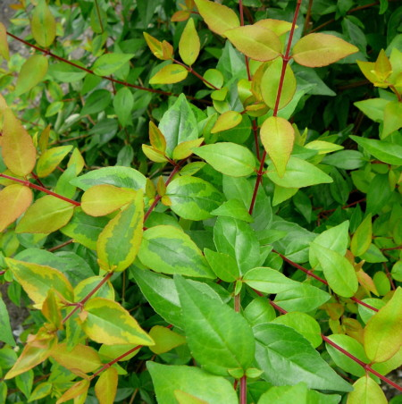 Abelia grandiflora 'Kaleidoscope' - Abelia