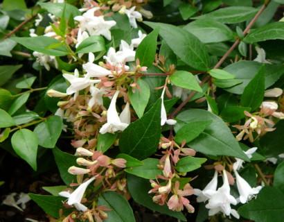 Struiken Met Bloemen Voor In De Tuin.Heesters O A Groenblijvende En Bloeiende Heesters