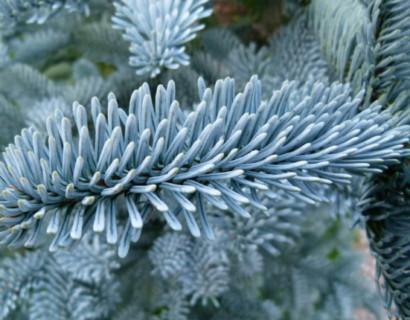 Abies procera 'Glauca' - Amerikaanse zilverspar