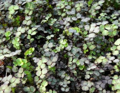 Acaena inermis 'Purpurea' - stekelnootje