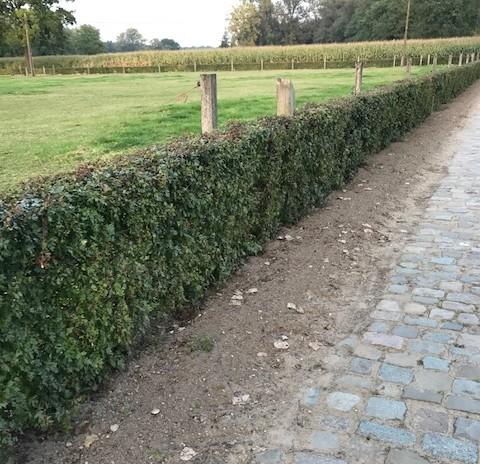 Acer campestre - veldesdoorn