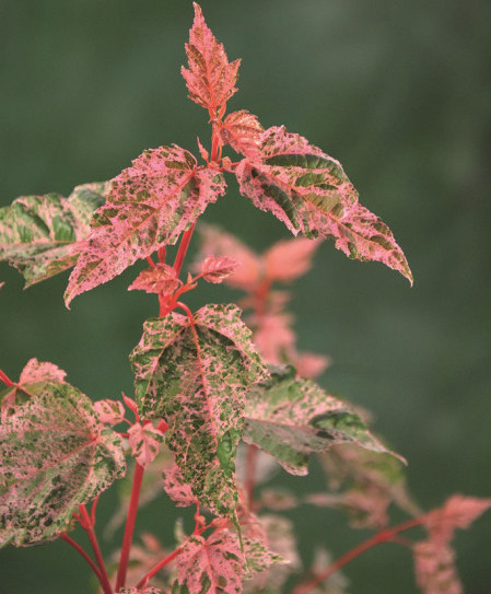 Acer conspicuum 'Red Flamingo' - Japanse esdoorn, streepjesbastesdoorn