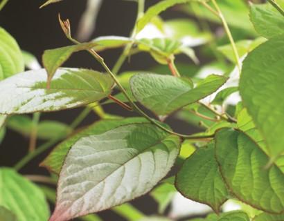 Actinidia kolomikta - sierkiwi