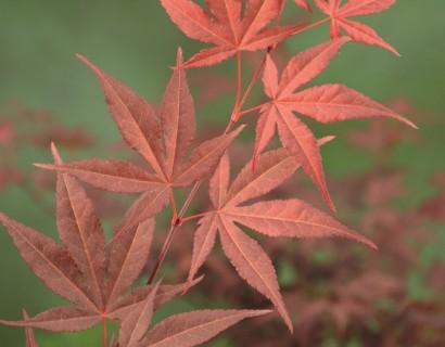 Acer palmatum 'Atropurpureum' - Japanse esdoorn
